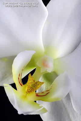 orquideablancadigitalphotopl.jpg