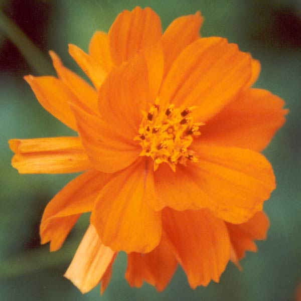 orange-cosmos-flower