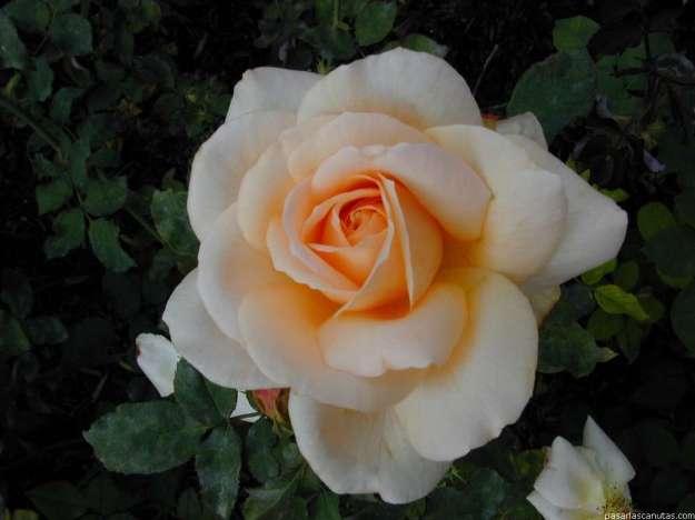 rosa3089