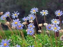 margaritas-flores